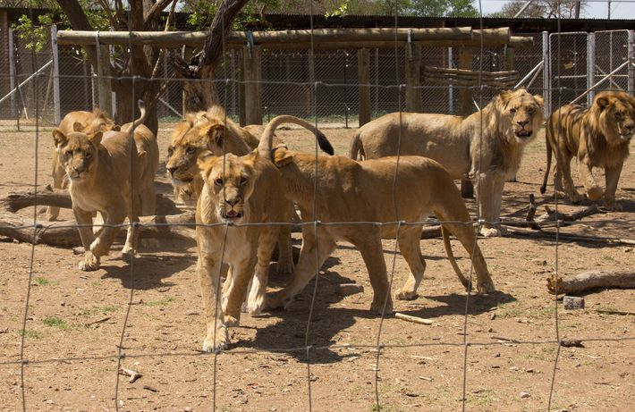 Lions in cages at an unspecified breeding facility in South Africa. As many as 8,000 lions ...