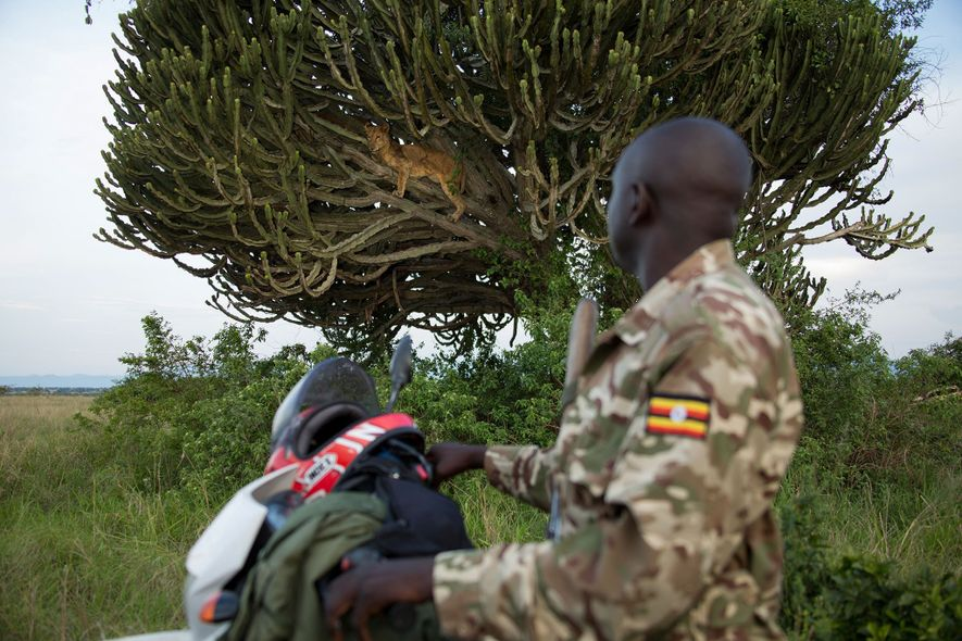 Jimmy Kisembo, a Uganda Wildlife Authority officer, observes a lioness. She too was killed in the ...