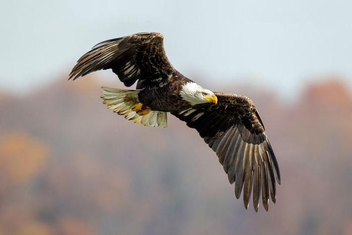Thanks to conservation efforts, hundreds of thousands of bald eagles now soar through U.S. skies.