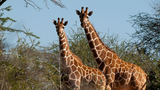 The ability of computers to automatically identify individual giraffes from their distinct coat patterns provides scientists ...