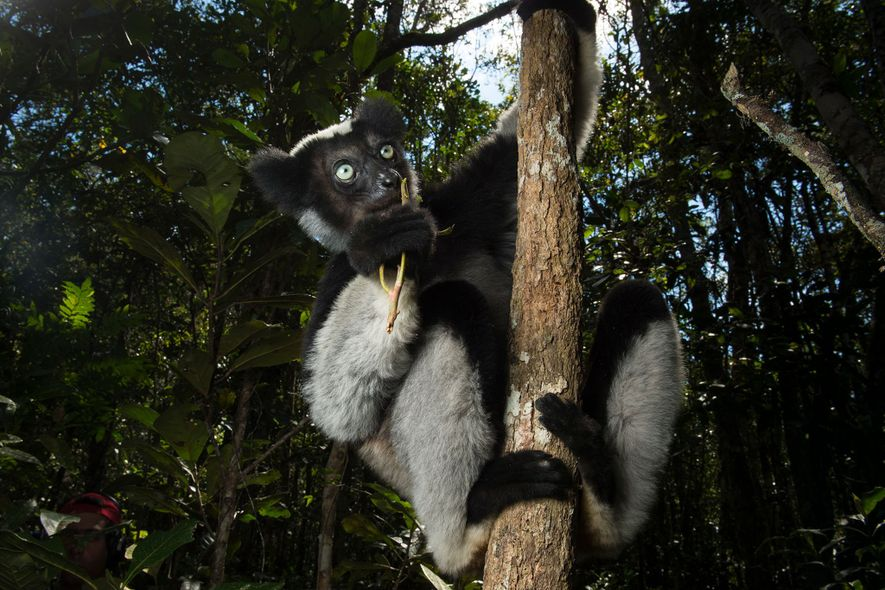 The critically endangered indri has evolved separately from other lemurs for 19 million years. Their expected ...