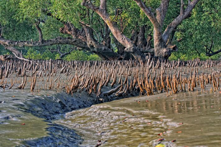 The mangroves are a bulwark against violent storms and rising seas. As more people, among them ...