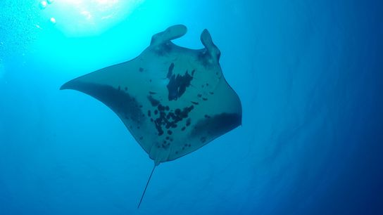 A giant manta ray swims at Kingman Reef, in the Pacific Remote Islands Marine National Sanctuary.