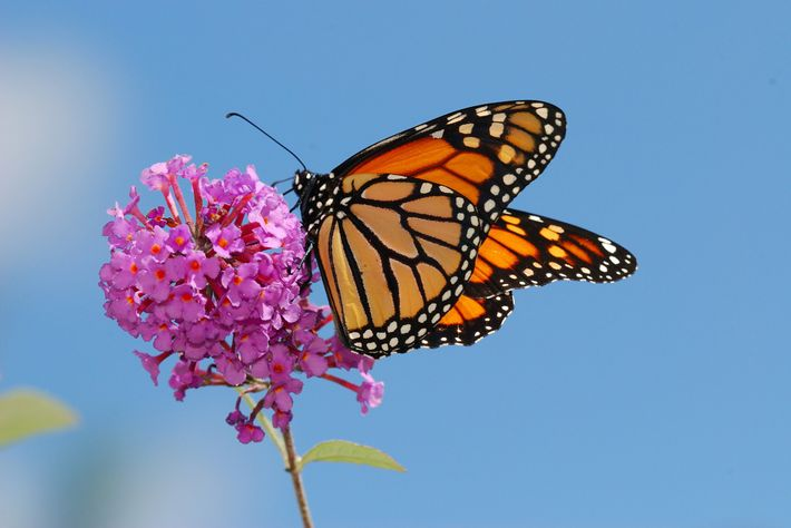 Nectar-rich flowers are important for monarchs' continued survival. And milkweed, the only plant monarch caterpillars eat, ...