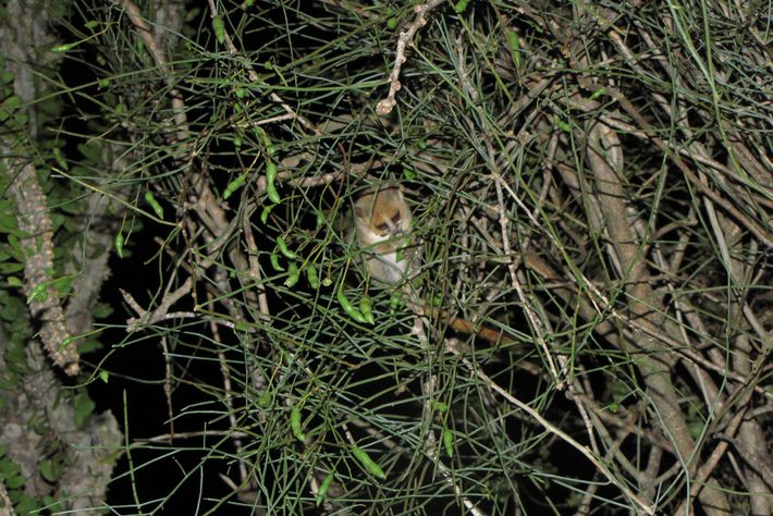 """A mouse lemur chows down on a plant in its """"garden""""."""