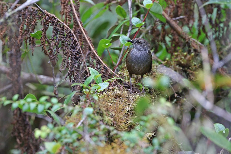 Scientists are particularly concerned about the Taliabu grasshopper warbler, whose habitat may have shrunk to a ...