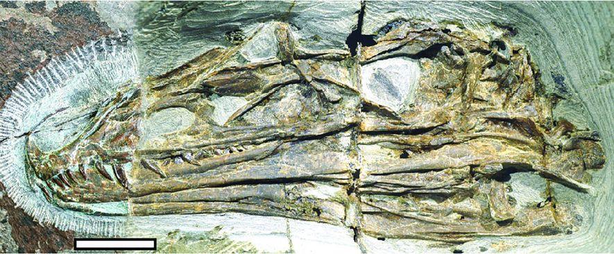 The skull of Caihong juji.