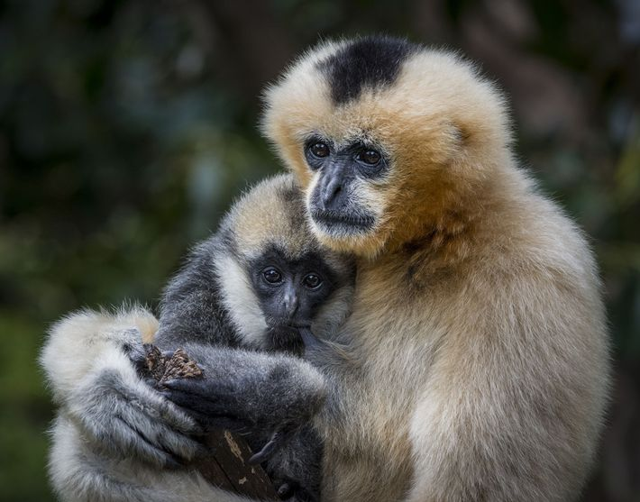 A mother white-cheeked gibbon holds its adolescent daughter.