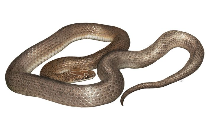 "An artist's rendering of the new species, 'Cenaspis aenigma', which translates to ""mysterious dinner snake."""