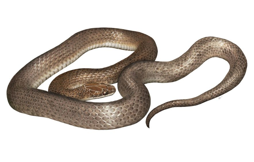 """An artist's rendering of the new species, 'Cenaspis aenigma', which translates to """"mysterious dinner snake."""""""