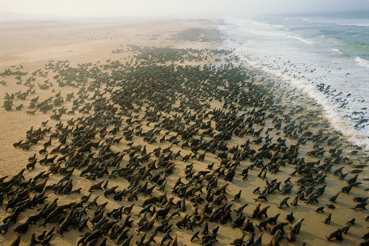 A large colony of Cape fur seals covers a beach near Cape Fria, Namibia. The seals ...