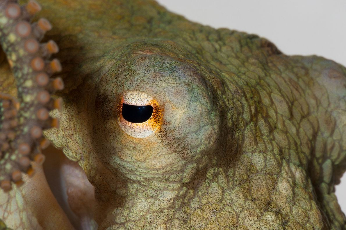 Octopuses Given Ecstasy for Science—But Is That Ethical?