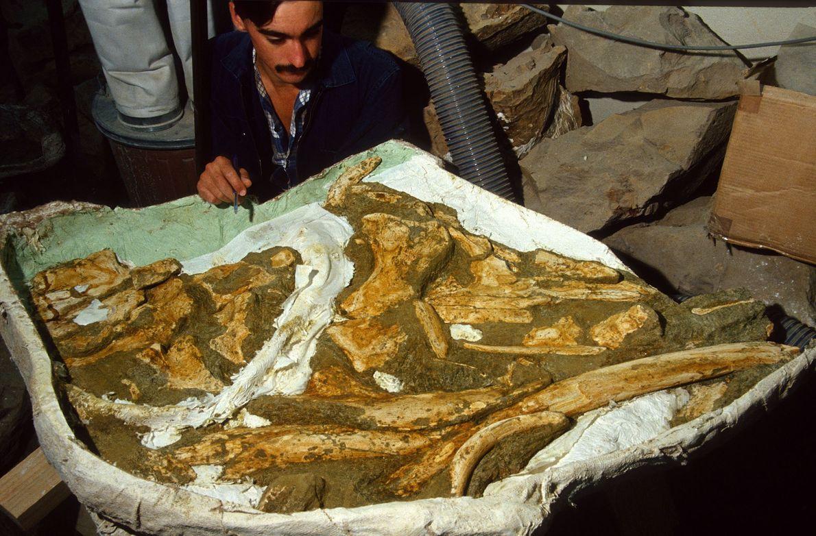 Fossil preparator Andrew Grebneff works on the Toipahautea waitaki specimen.