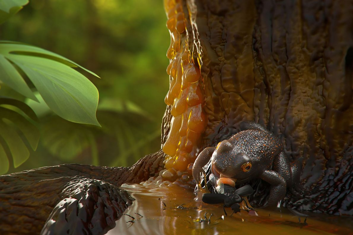 An illustration shows how the ancient frog may have become trapped in tree resin that went ...