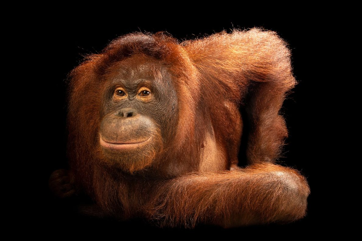 This is a central Bornean orangutan. Bornean orangutan numbers have been more than halved in the ...