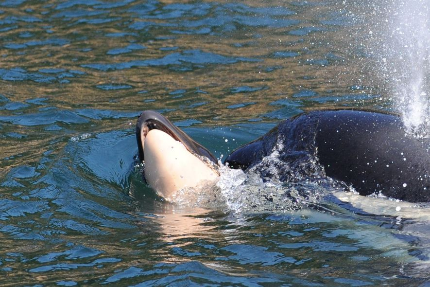 J35 has been carrying her calf for more than a week, and researchers worry she's endangering ...