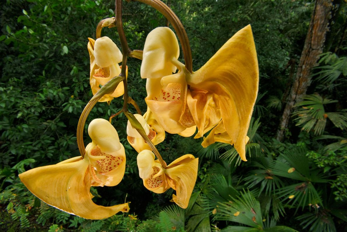 This distinctive, fragrant bucket orchid in Panama gives off an intense aroma that attracts pollinating bees. ...