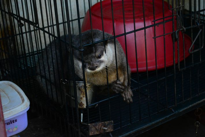 To stay healthy in captivity otters need specialised food. Fed dog food and kept in a ...