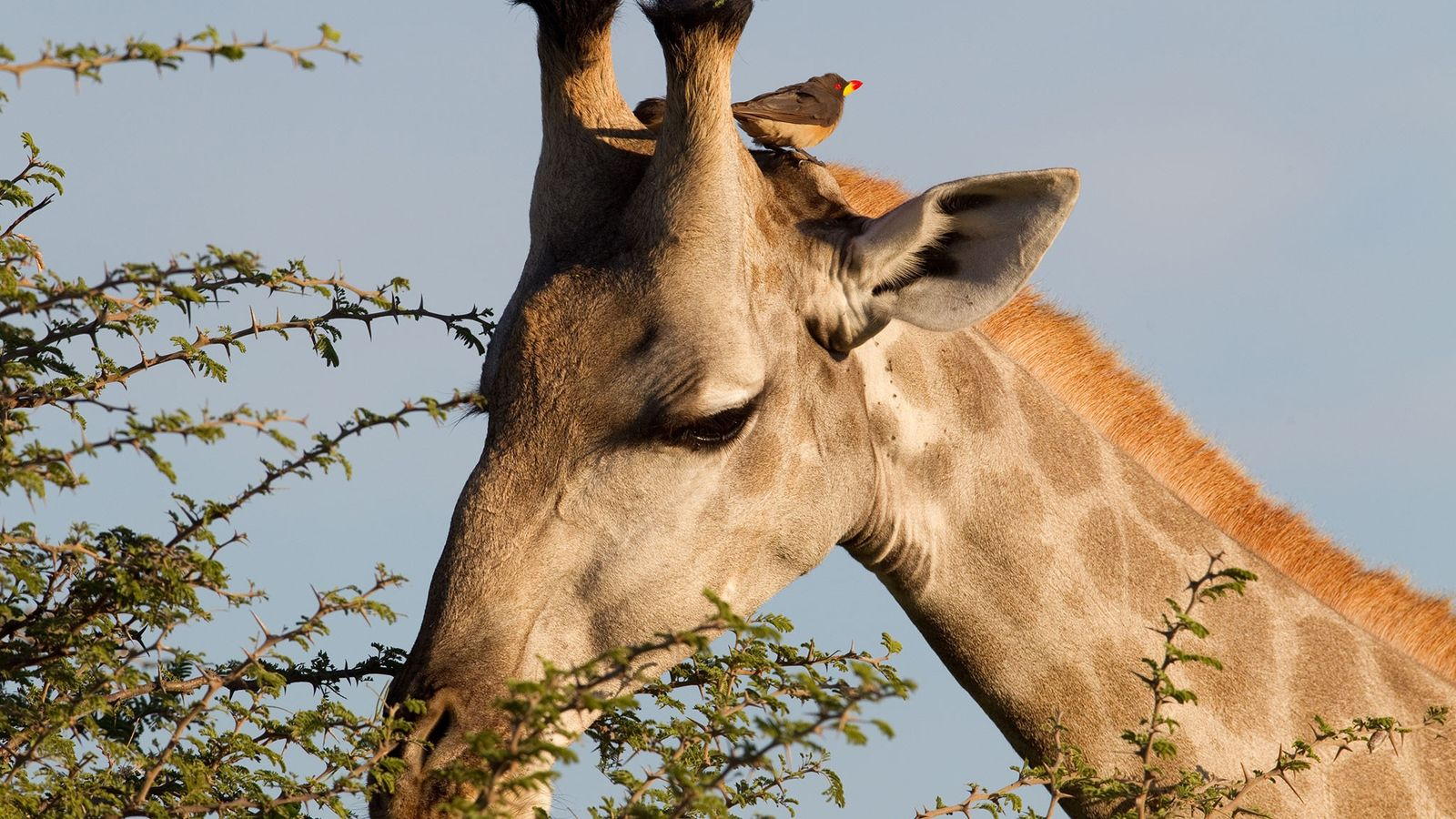 A yellow-billed oxpecker perches on the head of a giraffe in Botswana's Okavango Delta.