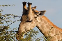 A yellow-billed oxpecker perches on the head of a giraffe in Botswana's Okavango Delta.