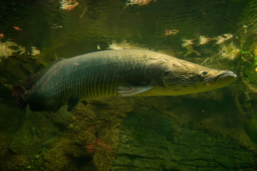 Arapaima, found in the Amazon basin, are among the world's largest freshwater fish. They're imperilled by ...