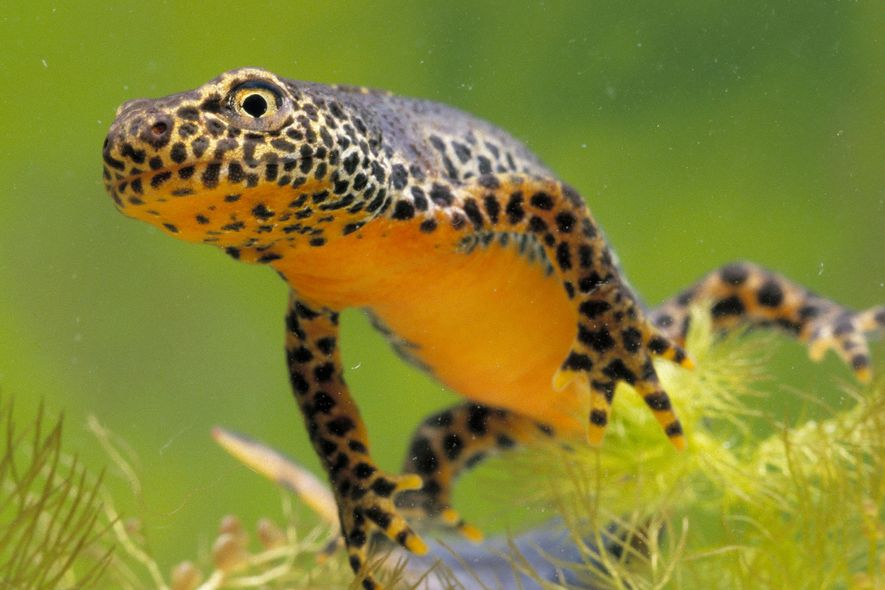 Its metamorphosis complete, this male alpine newt (Ichthyosaura alpestris) is ready to begin life on land.