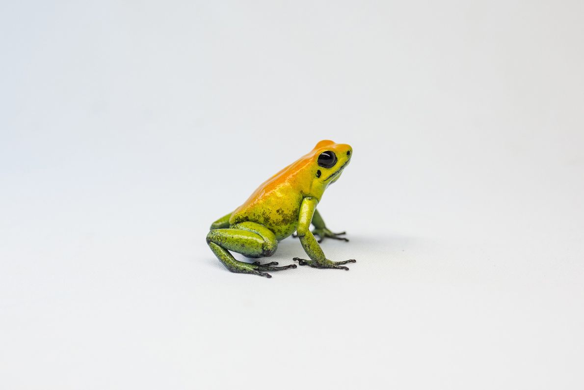 The black-legged poison frog is considered the second most poisonous frog in the world.