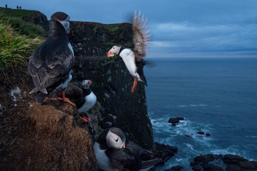 Nicknamed the 'sea parrot' due to its colours and pointy beak, the Atlantic puffin (pictured in ...