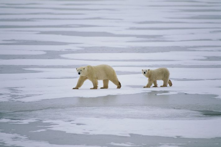 Canada, home to nearly two-thirds of the world's polar bears, is where most hunting occurs.