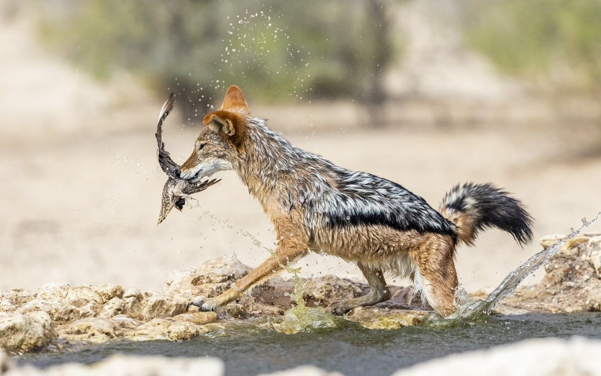 Your Shot photographer Elize Labuschagne captured the moment a black-backed jackal caught a Burchell's sandgrouse while ...