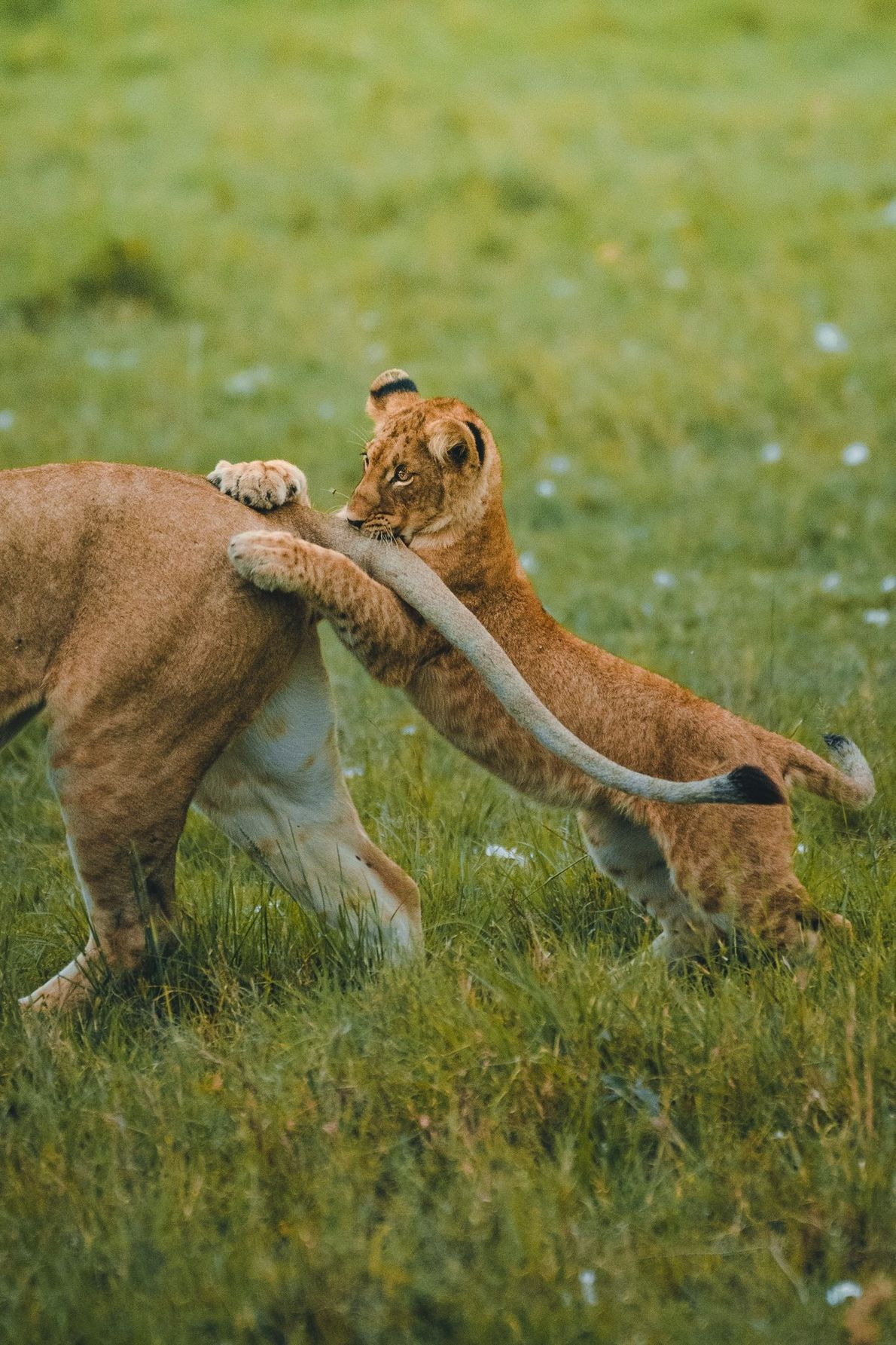 A young cub chases it's mother's tail on the Masai Mara, Kenya.