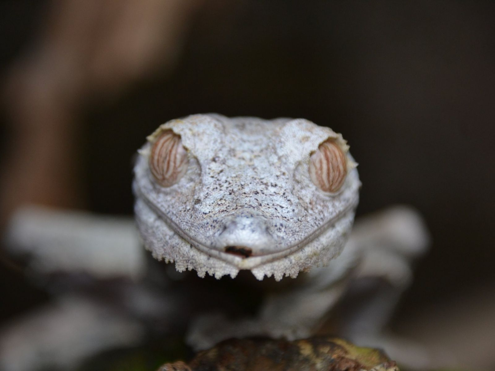 Your Shot photographer Juan Kas made this portrait of a geico in Mahajanga, Madagascar.