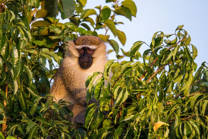 Vervet monkeys, which typically live in eastern Africa, are one of the top targets for trophy ...