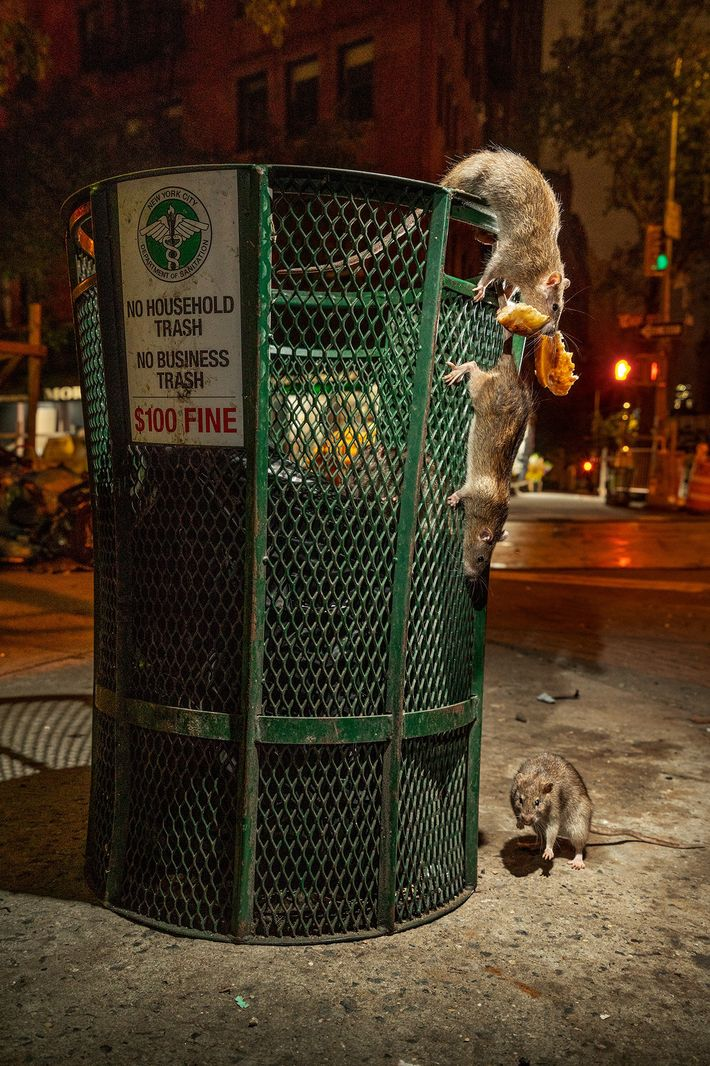 Rats raid a bin in lower Manhattan before the coronavirus pandemic. Normally New Yorkers with uptown ...
