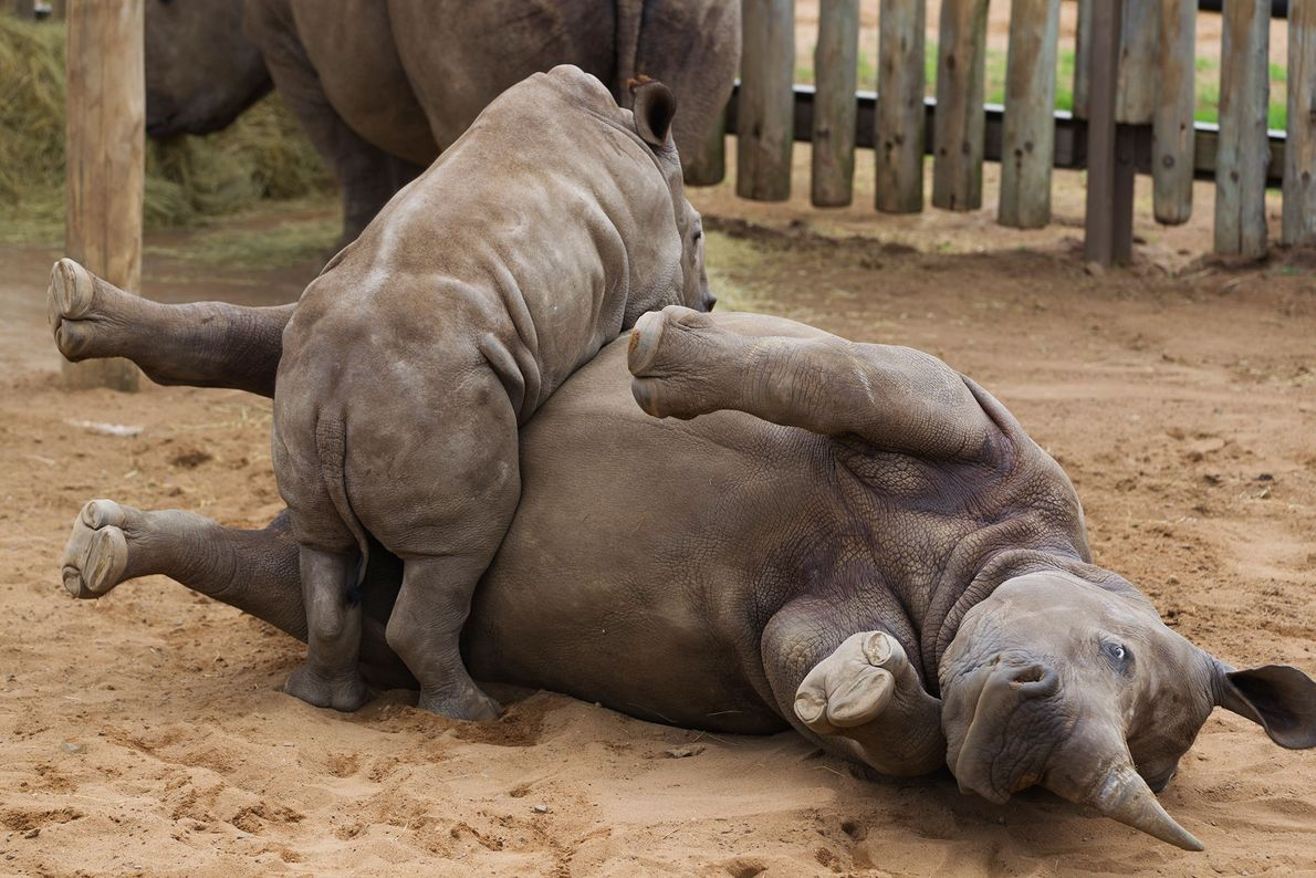 A white rhino calf romps with a juvenile in a game park holding pen in South ...