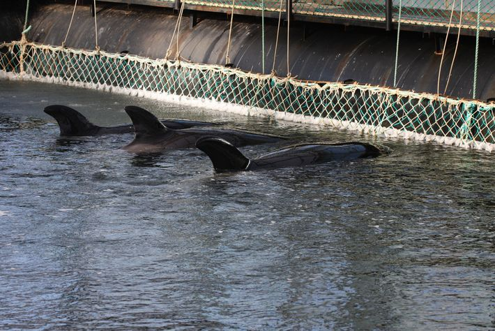 Elven killer whales captured from the wild also are confined to sea pens. The skin of ...