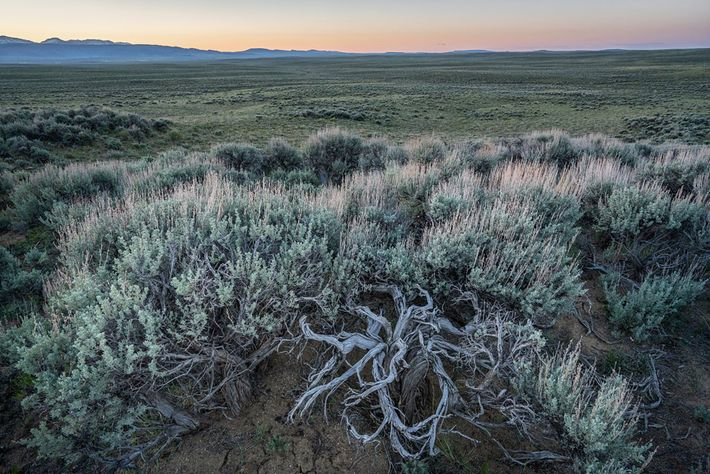 Sage grouse need sagebrush to survive: It shelters them and feeds them, especially in winter. As ...