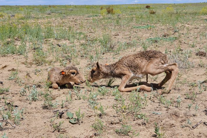 Two of the more than 500 calves born this spring in Kazakhstan's Ustyurt Plateau huddle in ...