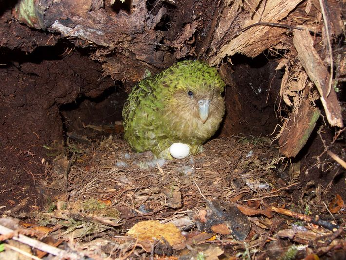 Despite intense conservation efforts, the kakapo are particularly tough to repopulate because they only breed every ...
