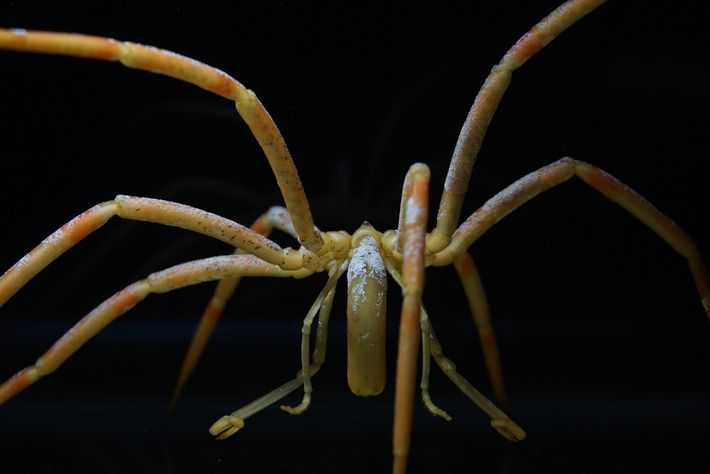 One of the largest species of Antarctic sea spiders ('Colossendeis australis') has encrusting patches of white ...
