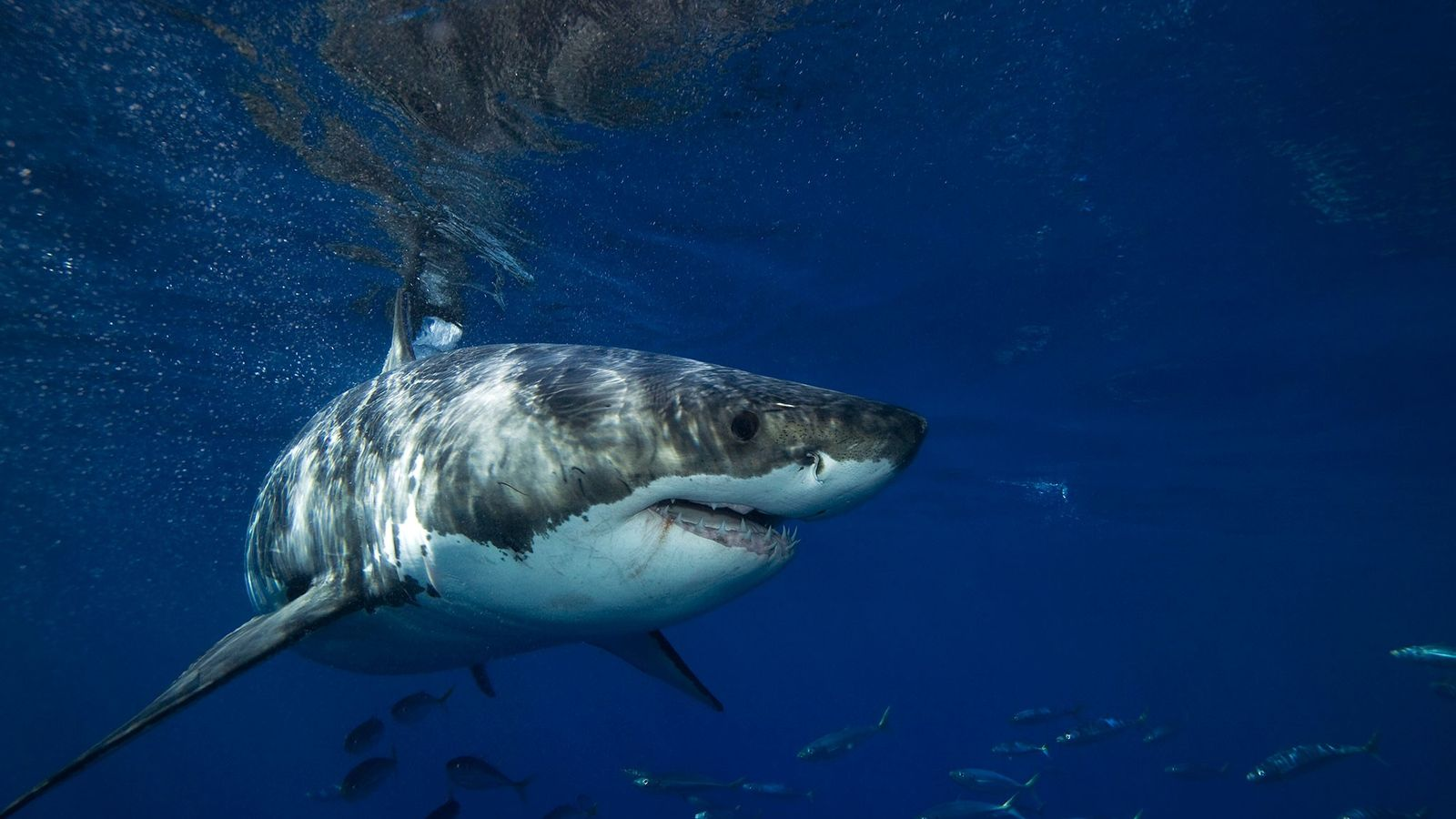 A great white shark swims in clear water off Guadalupe Island.