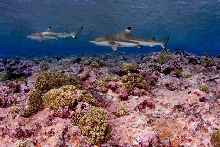 Blacktip reef sharks swim near Kirabati in the Pacific Ocean.