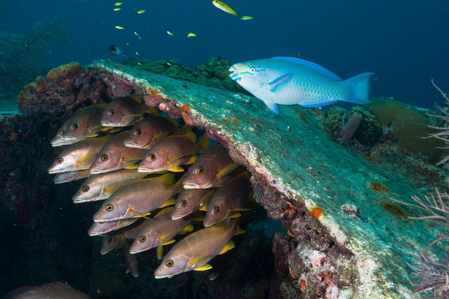 Fish swim in the remains of the Benwood, a ship that sank off Key Largo, Florida ...