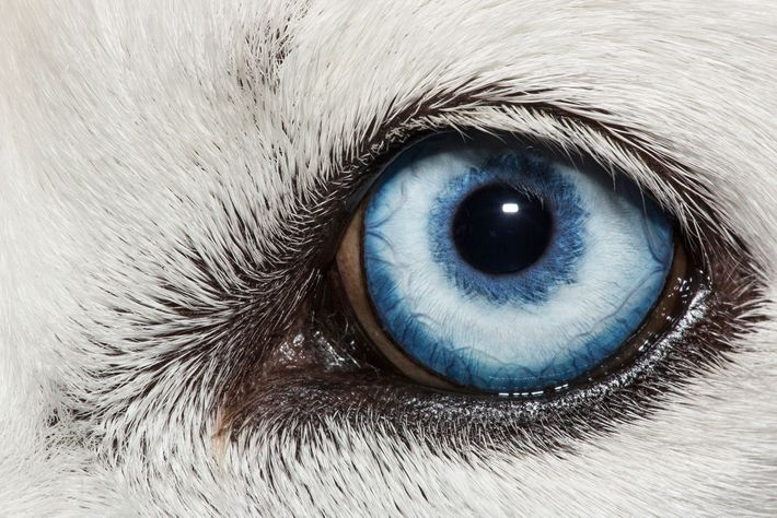The blue eye of a white Siberian husky dog, 'Canis lupus familiars'.