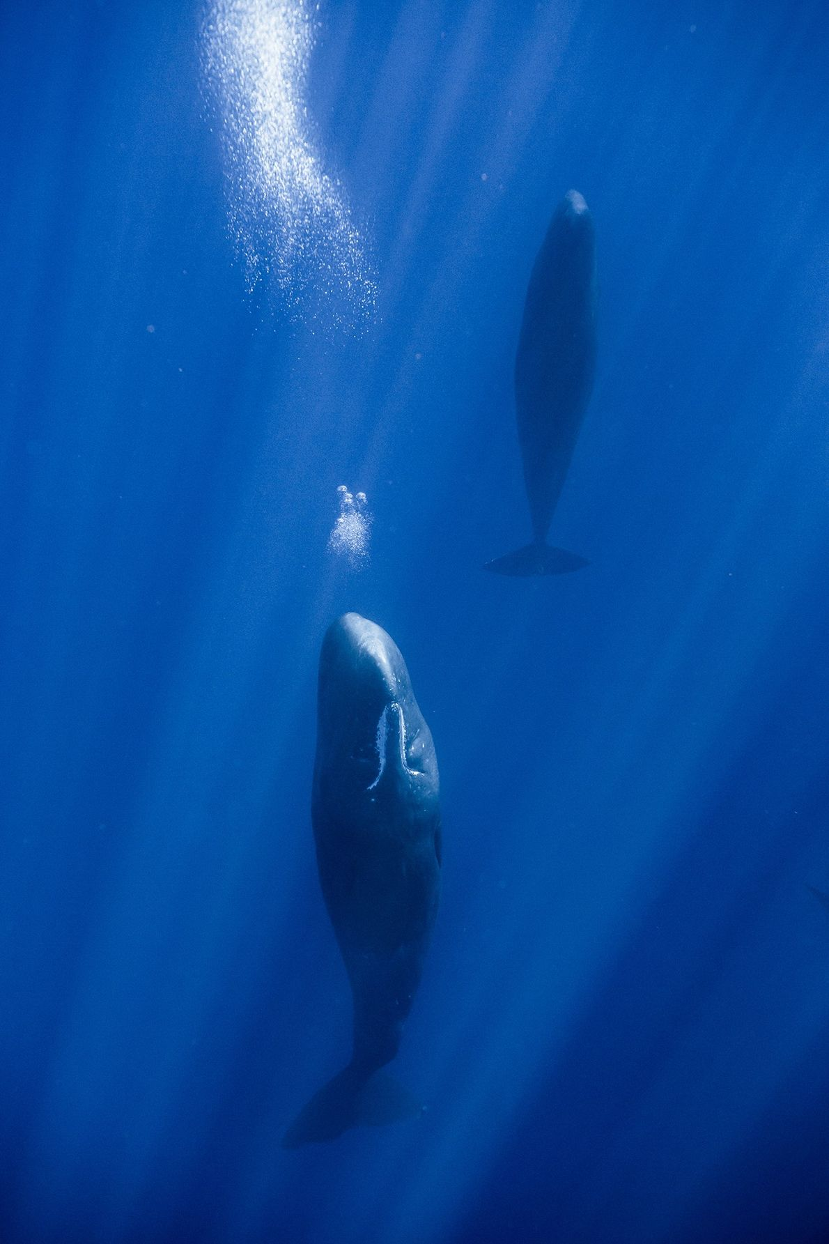 Two adult females are sleep at 20 metres deep. One the the whales releases air. To …