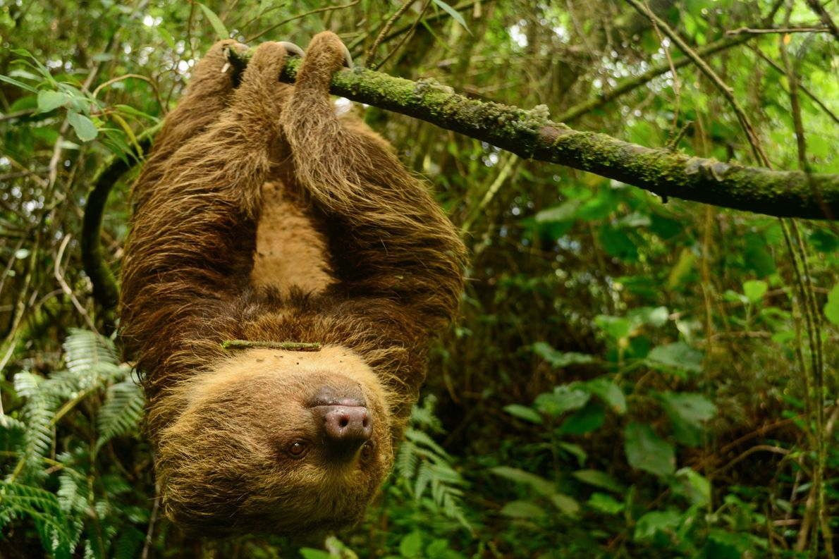 A Hoffmann's two-toed sloth in Colombia.