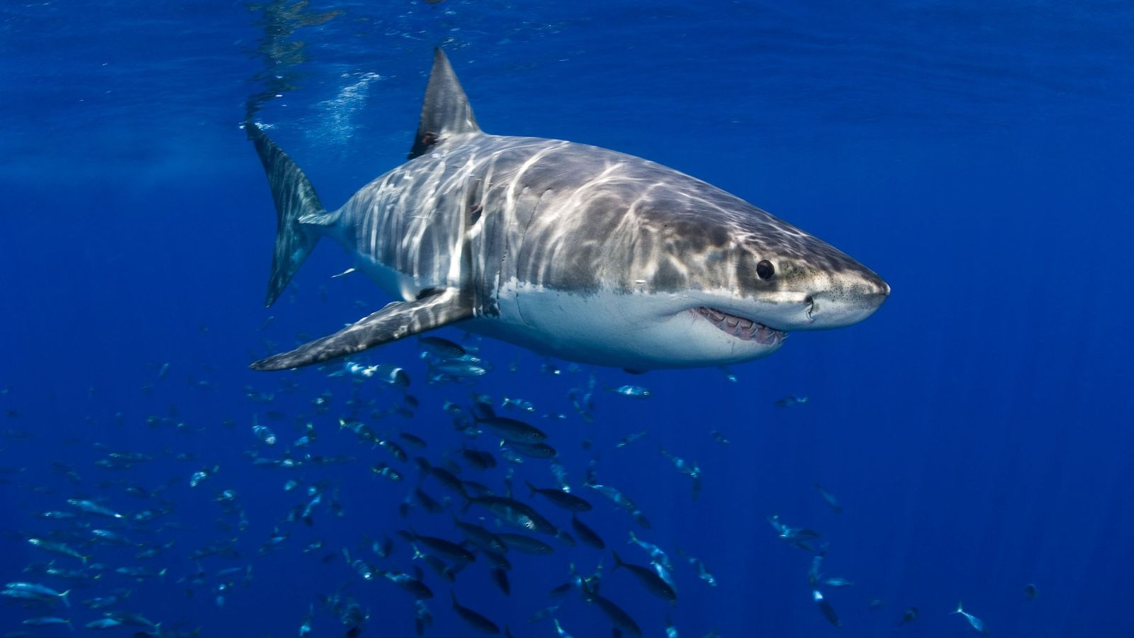 Some sharks can detect the odor of prey in water at one part per 10 billion, ...