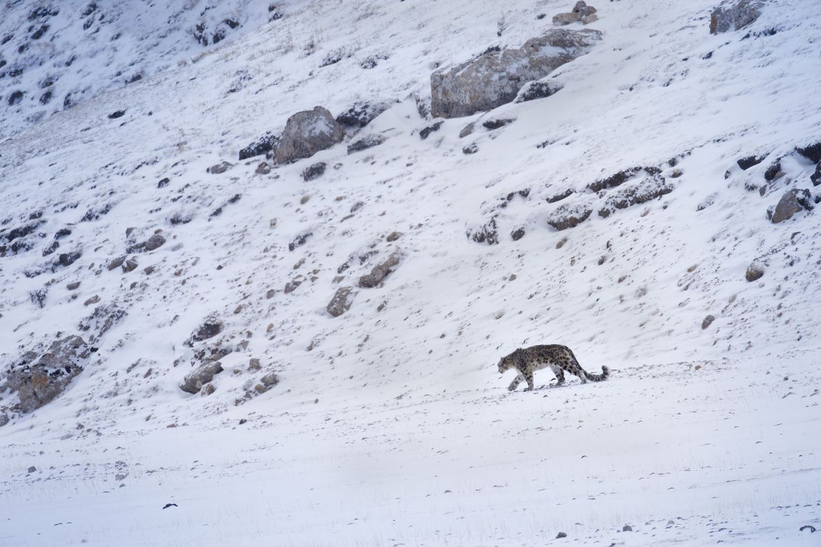 The big cat roams the mountains of China's Szechuan Province. Seeing the snow leopard's eyes for ...