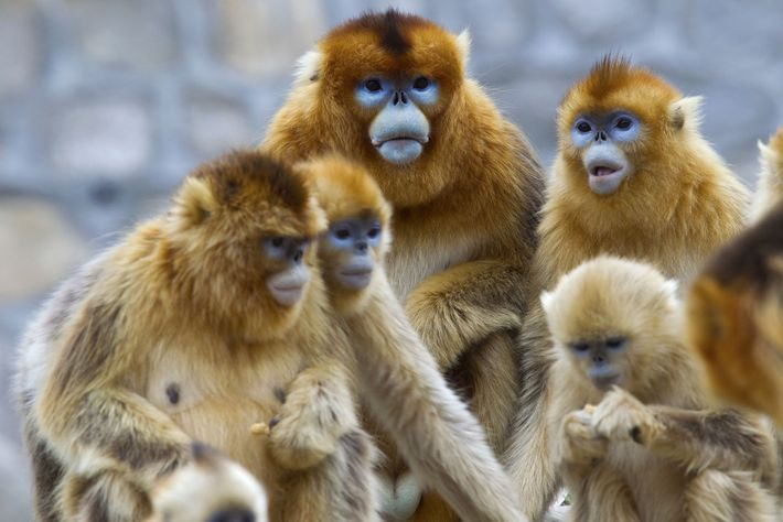 """The earliest reference to the monkey in Chinese literature is a 2,200-year-old description of an """"odd-nosed ..."""