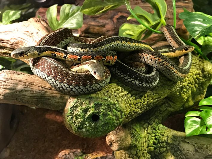 Eastern garter snakes join up together, a strategy for keeping warm and defending against predators.